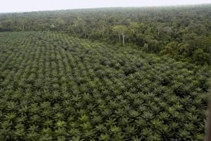 Perkebunan kelapa sawit. [Istimewa]