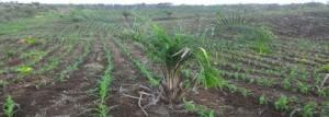 lahan tanaman jagung